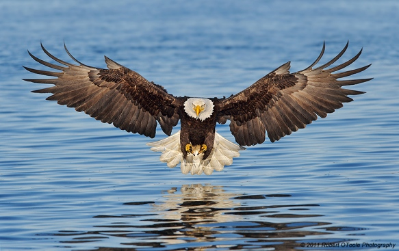 Alaska_Eagles_DS7_8992A